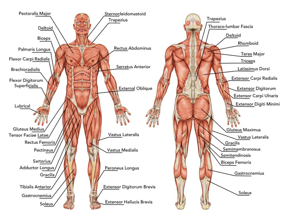 muscular full body anatomy