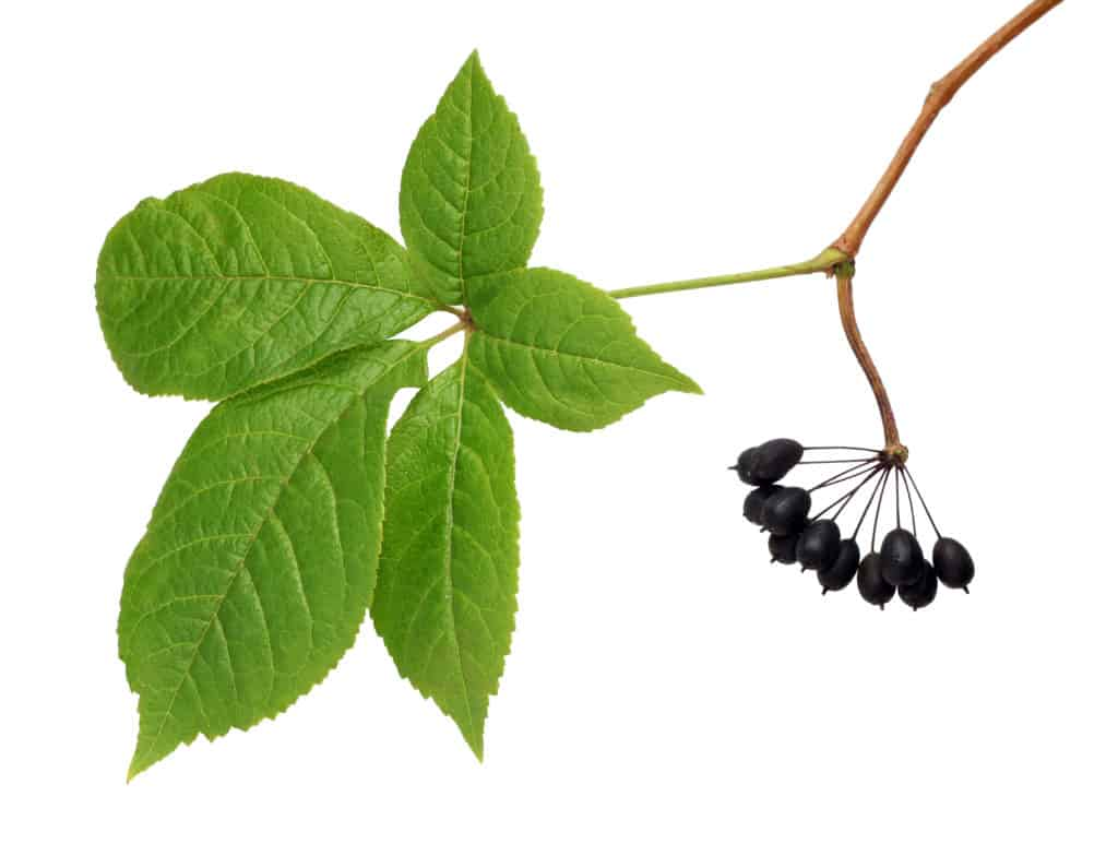 The best adaptogenic herbs:Eleuthero