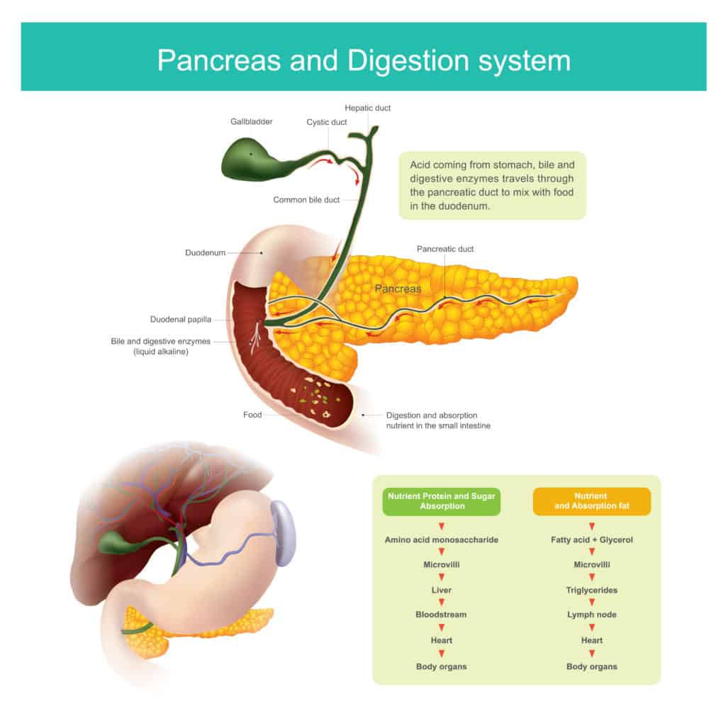 Digestive Enzymes and weight loss:How do they work?