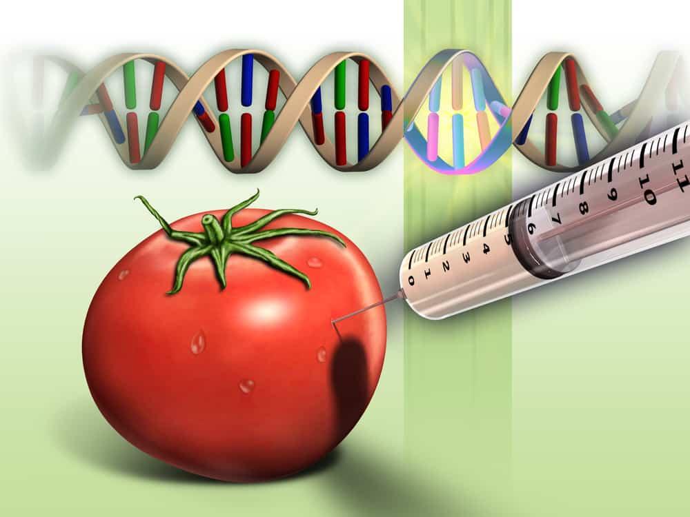 Genetically modified tomato