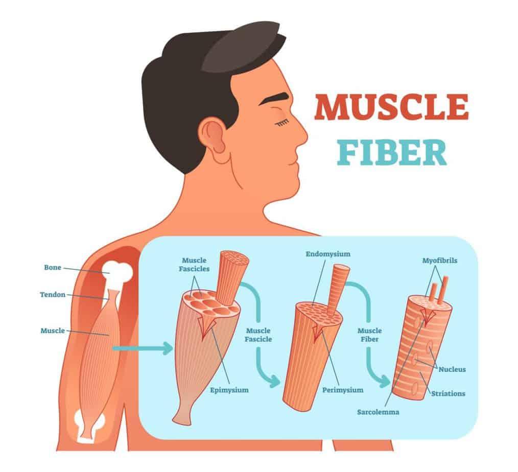 Muscle fiber anatomical vector illustration, medical education information